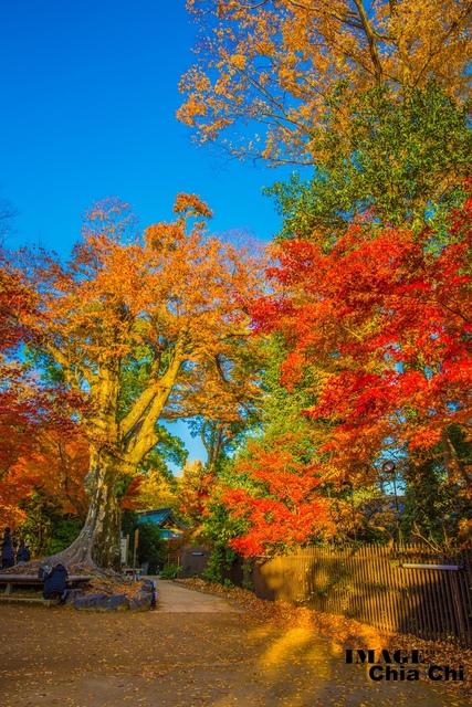 5N1C9346.jpg - 北野天滿宮,楓紅銀杏與藍天交織成的美景