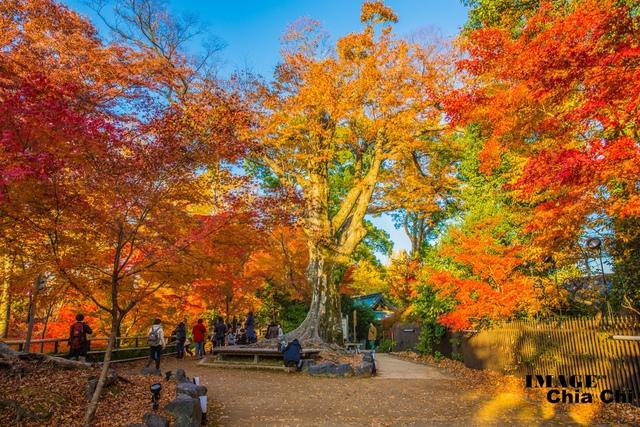 5N1C9348.jpg - 北野天滿宮,楓紅銀杏與藍天交織成的美景