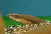 食譜:日本鰻鱺-維基.jpg