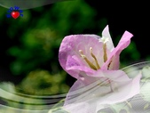 花卉:PhotoCap_008.jpg