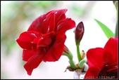家裡的孤挺花:103040706.jpg