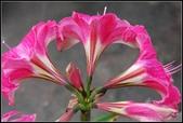 家裡的孤挺花:1030404124.jpg