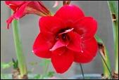 家裡的孤挺花:103040701.jpg