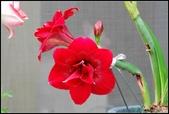 家裡的孤挺花:103040703.jpg