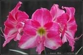 家裡的孤挺花:1030404120.jpg