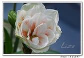 家裡的孤挺花:Nymph (寧芙女神)