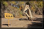 20081011  南彊大漠帕米爾/塔克拉瑪干大沙漠/輪台-塔中-民豐:3.輪台胡楊林公園 (21).jpg