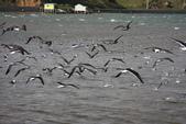 20121025 但尼丁奧塔哥半島上的黃眼企鵝保護區:27.121025 黃眼企鵝保護區 (9).jpg