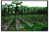 20120518 台東鹿野龍田村的小葉欖仁綠色:3.龍田村阿度站 (4).jpg