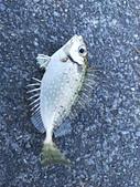 金山磺港漁港釣魚趣~110.02.01~1588:6.jpg
