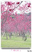 2011新社櫻花雪:櫻花林09.jpg