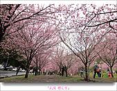 2011武陵舞櫻花:武陵櫻花雪026.jpg