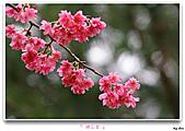 2011新社櫻花雪:櫻花林29.jpg
