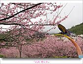 2011武陵舞櫻花:武陵櫻花雪027.jpg