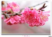 2011新社櫻花雪:櫻花林38.jpg