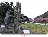 2011武陵舞櫻花:武陵櫻花雪013.jpg
