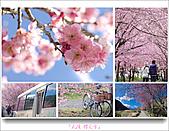 2011武陵舞櫻花:武陵櫻花雪411.jpg