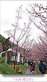 2011武陵舞櫻花:武陵櫻花雪031.jpg