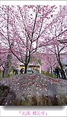 2011武陵舞櫻花:武陵櫻花雪014.jpg