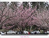 2011武陵舞櫻花:武陵櫻花雪034.jpg