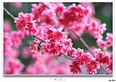 2011新社櫻花雪:櫻花林24.jpg
