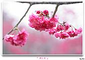 2011新社櫻花雪:櫻花林17.jpg