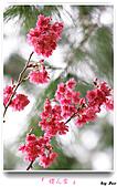 2011新社櫻花雪:櫻花林32.jpg