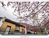 2011武陵舞櫻花:武陵櫻花雪035.jpg