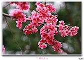 2011新社櫻花雪:櫻花林25.jpg