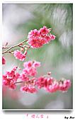 2011新社櫻花雪:櫻花林33.jpg