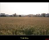 大雅-小麥香:大雅麥田001.jpg