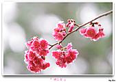 2011新社櫻花雪:櫻花林34.jpg