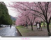 2011武陵舞櫻花:武陵櫻花雪018.jpg