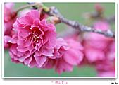 2011新社櫻花雪:櫻花林19.jpg