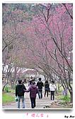 2011新社櫻花雪:櫻花林27.jpg