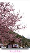 2011武陵舞櫻花:武陵櫻花雪021.jpg