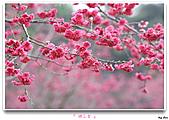 2011新社櫻花雪:櫻花林22.jpg