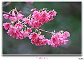 2011新社櫻花雪:櫻花林36.jpg