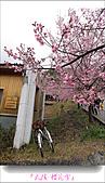 2011武陵舞櫻花:武陵櫻花雪024.jpg
