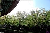 天元宮賞櫻:1000320淡水 101.JPG