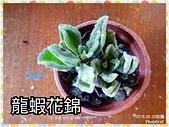 多肉植物:龍蝦花錦