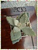 多肉植物:仙福兔