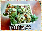 多肉植物:彩虹怡心草
