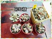 多肉植物:彩虹糖