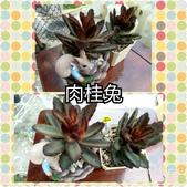 多肉植物:肉桂兔