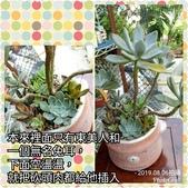 多肉植物:東美人 樹狀