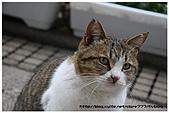 東京的貓咪:cat 08.jpg