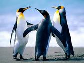 test060700:Penguins.jpg