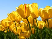 test060700:Tulips.jpg