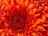 test060700:Chrysanthemum.jpg